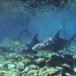 Tubarão touro (Foto:Divulgação)