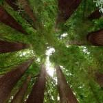 Floresta Giant Redwoods (Foto:Divulgação)