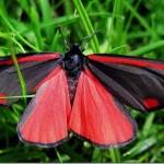 Borboleta Vermelha (Foto:Divulgação)