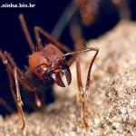 Formiga Vermelha (Foto:Divulgação)
