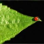 As joaninhas podem atingir os 10 milímetros(Foto:Divulgação)