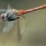 Libélulas são rapidos voadores (Foto:Divulgação)