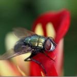 A mosca é um inseto muito conhecido (Foto:Divulgação)