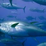Atum azul (Foto:Divulgação)
