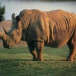Rinoceronte de Java (Foto:Divulgação)