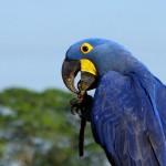 Arara azul (Foto:Divulgação)