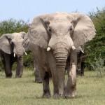 Elefante africano (Foto:Divulgação)