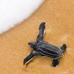 Tartaruga de couro (Foto:Divulgação)
