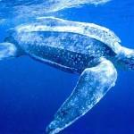 Tartaruga gigante (Foto:Divulgação)