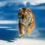 Tigre (Foto:Divulgação)