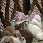 Gatinho fantasiado de coelho(Foto:Divulgaçao)