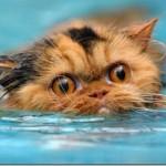 Gatinho nadando (Foto:Divulgaçao)