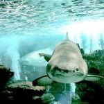 Com cara de mau, o tubarão é o animal mais temido dos mares.