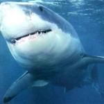 Fotos de tubarões, espécies, tamanhos2
