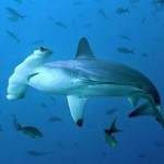 O tubarão martelo recebe este nome por causa as projeções que possui em ambos os lados da cabeça.
