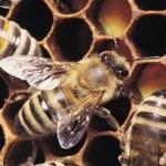 As abelhas são conhecidas por viverem em colônias.