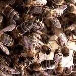 Uma única colmeia pode ter até 80 mil abelhas.