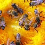 Na colônia, cada abelha é responsável por uma tarefa.