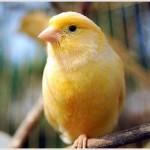 O canário belga é amarelo, mas os criadores buscam novas variações dessa cor (Foto: Divulgação)
