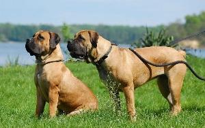 Cachorro boerboel: preço, onde comprar