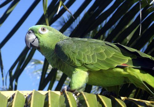 Papagaio: cuidados, alimentação