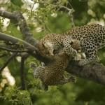 Mãe Leopardo segura seu filhote em cima da árvore