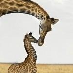 Mãe Girafa acaricia seu filhote