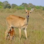 Mãe Cervo amamenta seu filhote na natureza