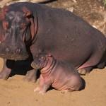 Mãe Hipopótamo e seu filhote descansando sob o sol