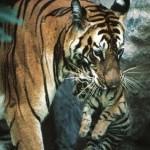 Mãe tigre salva seu filhote