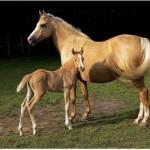 Cavalo Paso peruano