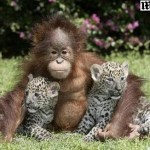 Amizade entre os animais - Orangotango e filhotes de Leopardo