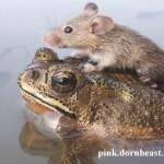 Amizade entre os animais - Sapo carrega Rato