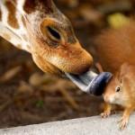 Amizade entre os animais - Girafa da beijinho em Esquilo