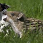 Amizade entre os animais - Anta com Cachorro