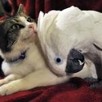 Amizade entre os animais - Cacatua com Gato