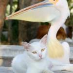 Amizade entre os animais - Pelicano com Gato