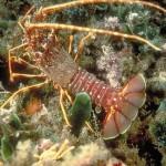 Lagosta - Crustáceoreptante, é a espécie mais comum do litoral brasileiro.