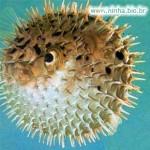 Baiacu - Apesar de ser engraçadinho, o peixe, possui um dos venenos mais mortais encontrados na natureza.