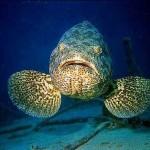Mero - Uma das maiores espécies de peixes marinhos podendo chegar a pesar  de 250 kg a mais de 400Kg e medir 2,7 metros.