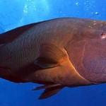 Peixe Napoleão - Nada com toda calma do mundo próximo aos corais.