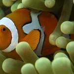 Peixe Palhaço - Um dos peixinhos mais fotografados e conhecidos, ele é capaz de viver entre as anemonas.