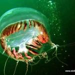 Água Viva - Possui a boca no centro do corpo envolvida por tentáculos.