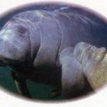Manati - Parente marinho do peixe boi.