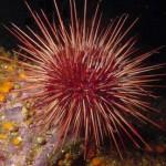 Ouriço do Mar - Um equinoderme tal como à estrela do mar e os pepinos do mar.