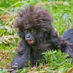 Macaco cabeleira. (Foto: divulgação)