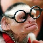 Macaco de óculos fazendo o estilo intelectual. (Foto: divulgação)