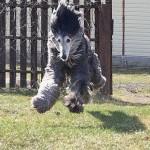 Cachorro peludo pulando. (Foto: divulgação)