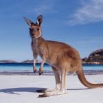 Canguru, símbolo nascional da Austrália (Foto: divulgação)