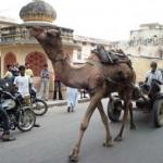 É comum ver camelos andando pelas ruas da Índia. (Foto: divulgação)